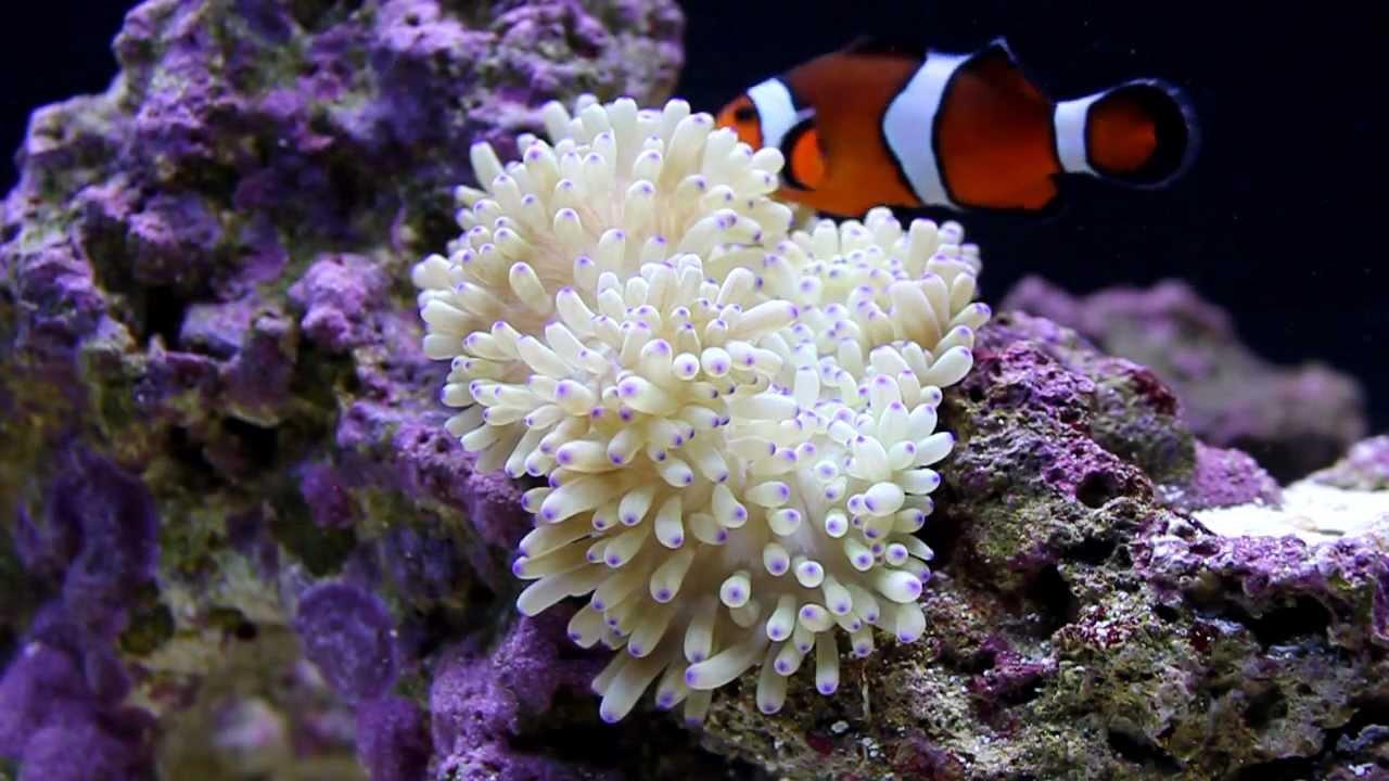 Ocellaris clownfish anemone - photo#19