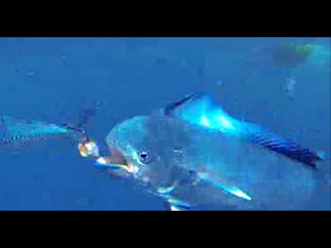 How To: Catch Dorado, Dolphin Fish, Mahi | The Hook And The Cook