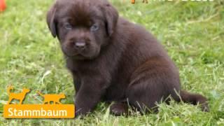 Labrador Retriever Welpen In Zittau