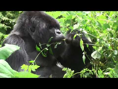 Vegetarian in a salad bowl - a silverback mountain gorilla settles down for a PYO lunch in Rwanda.