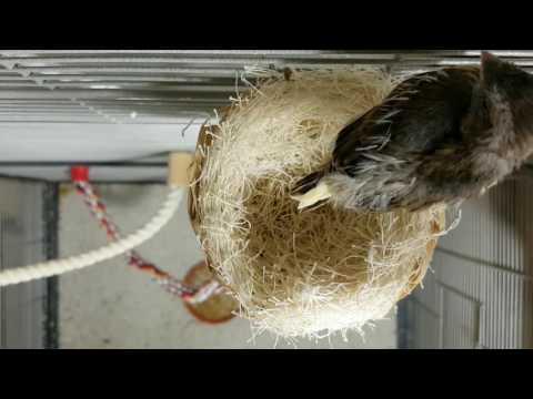 Kanarienvogel Mirja und ihr 18 Tage altes Küken