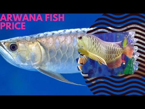 Arowana Fish Information/ /hyderabad Fusion