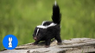 Baby Skunks Trying To Spray  Funniest Compilation