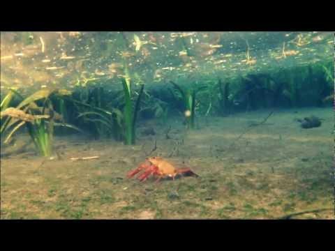 Crawfish feeding underwater in Texas natural spring HD