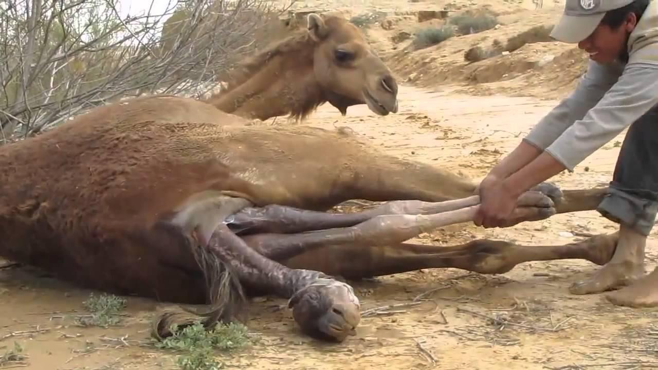 camel giving birth in the desert youtube