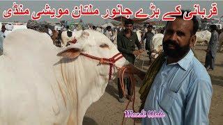 117 | Cow mandi 2018/2019 | Multan Mandi | Expensive Qurbani animals