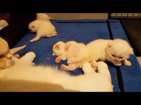 British shorthair kittens (2 weeks old) – BKH Kätzchen (2 Wochen alt)