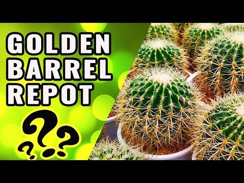 How to repot golden barrel