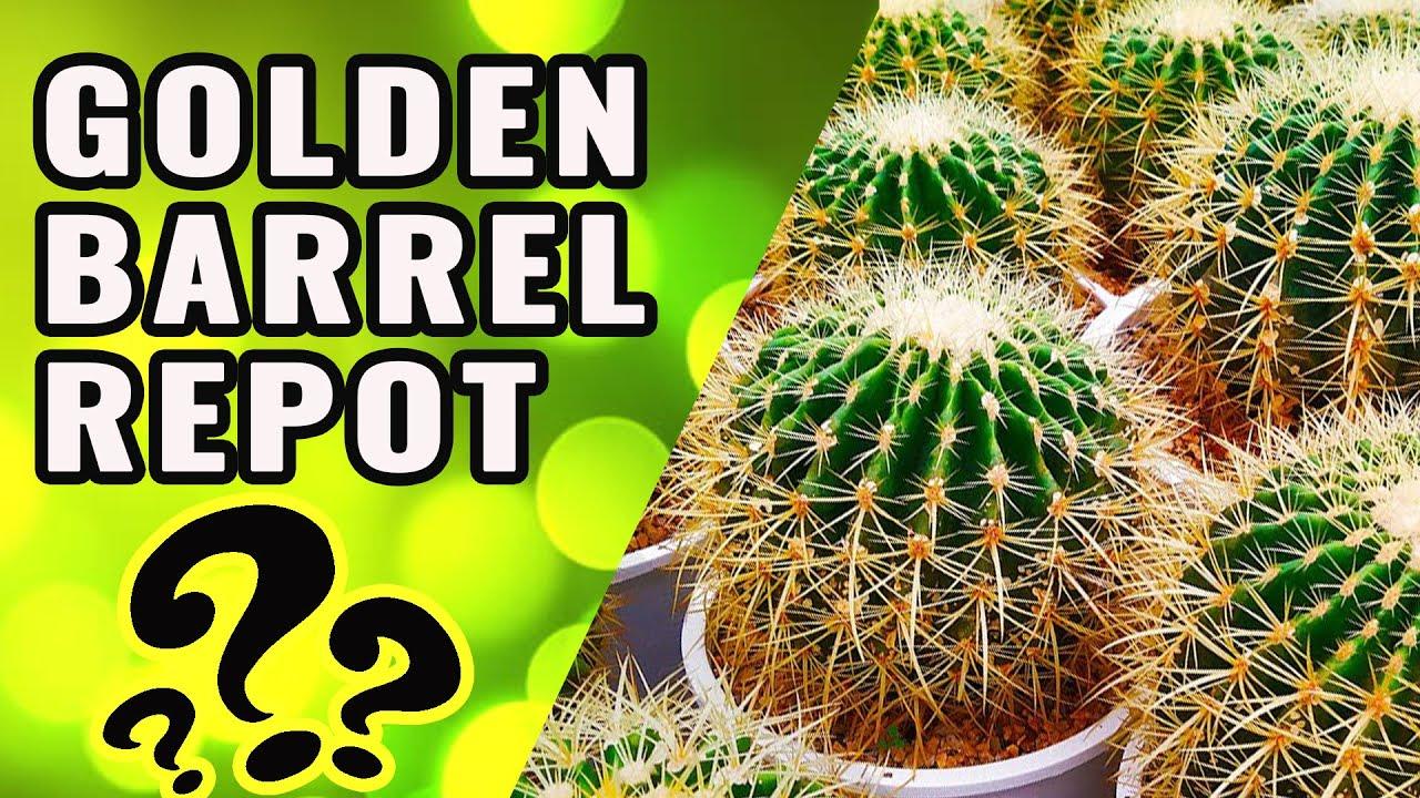 Golden Barrel Cactus Echinocactus Grusonii Cactus Round Cactus Golden Ball Cactus Barrel Cactus Birthday Cactus Golden Cacti