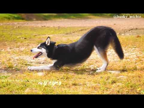 Siberian Husky | Dog Tricks by Michigan 9 months