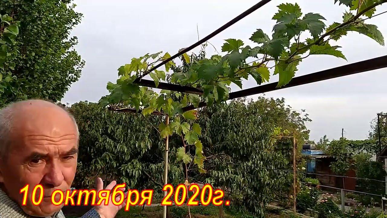 Прищипывание зеленых побегов на молодых кустах винограда - когда и зачем