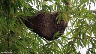 ĐI Rừng Bắt Tổ Ong Khoái (tập 1)   Hoa Ban Tây Bắc