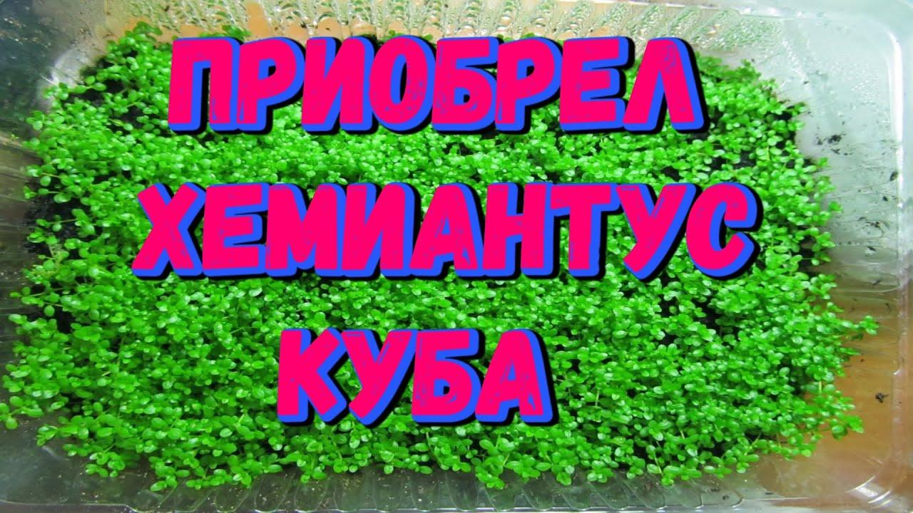 Хемиантус Куба аквариумное растение, посадка в тепличку! [#Хемиантус Куба]