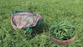 Matar Vapa Dim Curry Green Peas with Egg's Meat Cooking Farm Fresh Green Peas Recipe Village Food