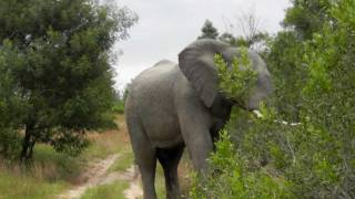 Elephant Chase in South Africa. Very Terrifying!