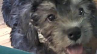 Dandie Dinmont Terrier puppies playing`