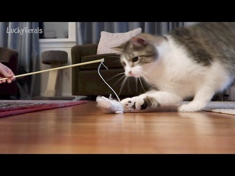 Cats Playing With Their Favorite Toy - Simba, Splash, and Stella
