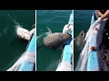 Fisherman punches great white shark, fights it for net