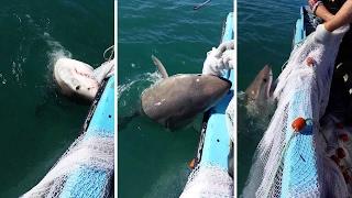 Shark Tug Of War
