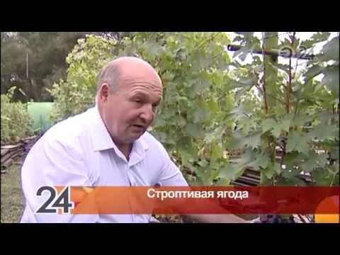 130 сортов винограда выращивает на своем участке житель Бугульмы Александр Зудин