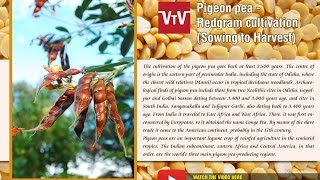 Pigeon pea -Redgram cultivation