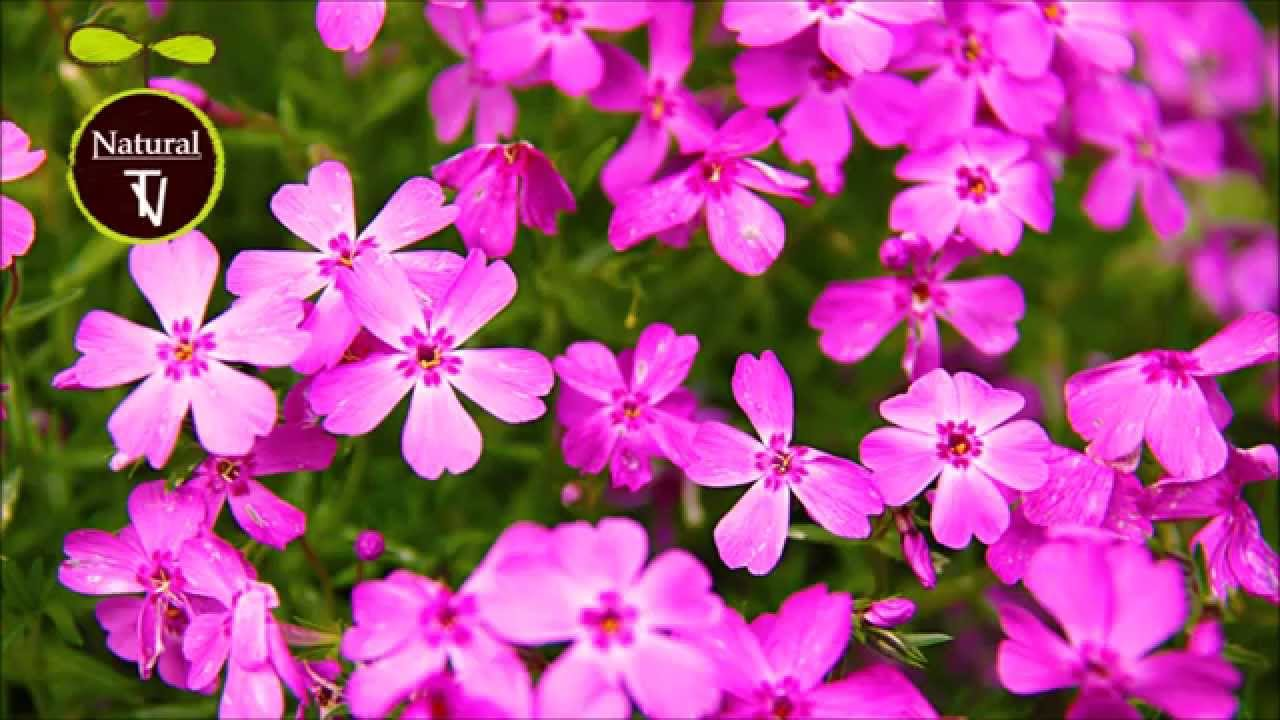 Heart Of Pink Purple Flowers Relaxing Instrumental Guiter Music Natural Tv 8
