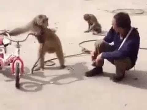 Обезьянка Хулиганка.GIF (Funny Angry Monkey)