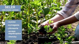 http://tv.ucoz.pl/dir/ogrodnictwo/seler_wysiew_odpowiednie_warunki_i_prawidlowa_uprawa_selera/4-1-0-313