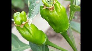 ⟹ Pepperoncini #Pepper #2 Capsicum annuum longum, PICK WHEN GREEN!!