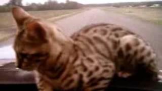 Кот идет на посадку.flv