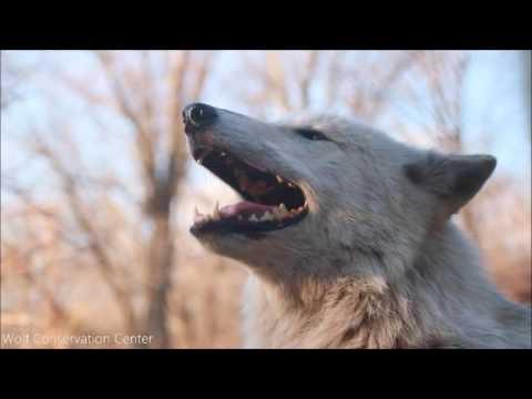 Gray Wolf Alawa Howls