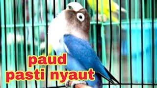 masteran lovebird paud paruh putih HD
