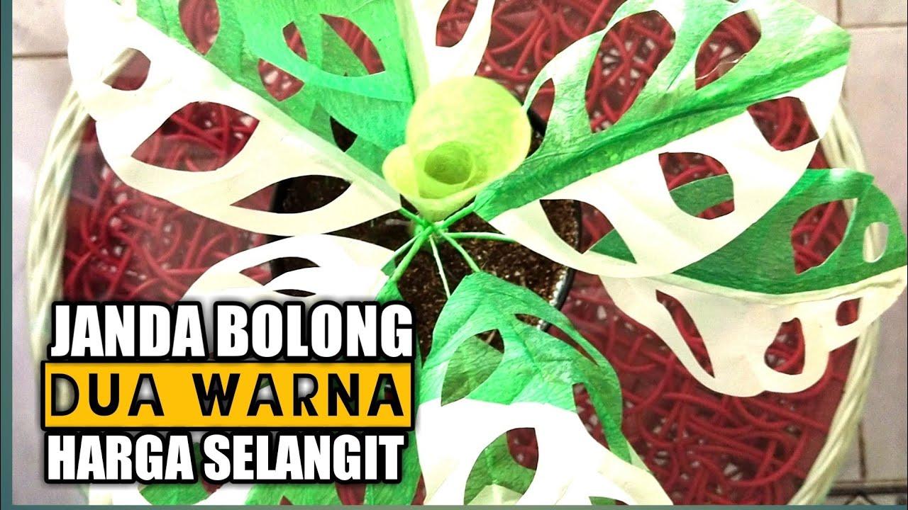 Janda Bolong Dua Warna Dari Plastik Kresek Varigata Monstera Obliqua Youtube