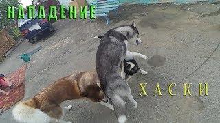 Драка Собак| Dog Fight|Siberian Husky Vlog