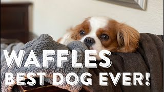 Our Cavalier King Charles Spaniel, the BEST Dog Ever!