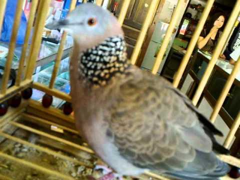 Chim Cu Gáy - Cuckoo bird.mp4