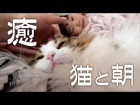 朝方布団に入ってゴロゴロ音を奏でるもふ猫に癒される幸せな時間