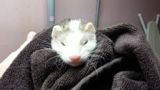 NEW BABY FERRET! WELCOME TO OUR FAMILY BLAZE!