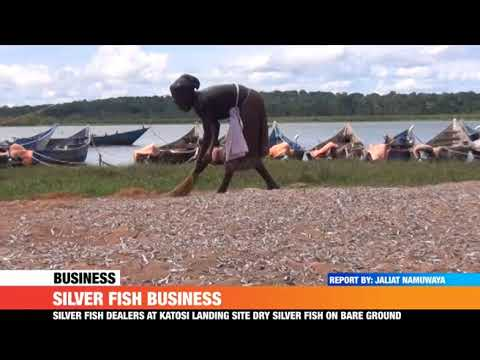 #PMLive: Silver fish dealers at Katosi landing site dry silver fish on bare ground