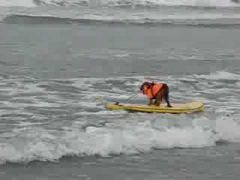 Buddy the Surf Dog 'Hangs 10' at 2008 Dog Surf a Thon