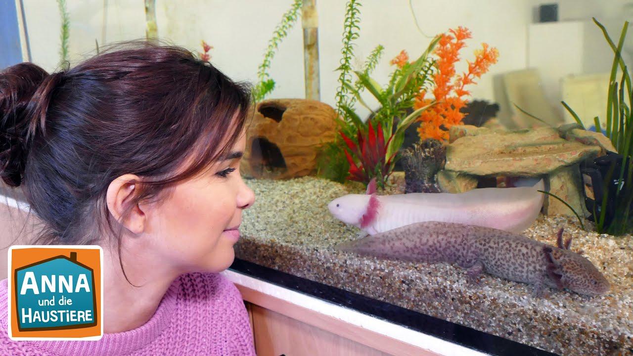 Axolotl Information Fur Kinder Anna Und Die Haustiere Youtube