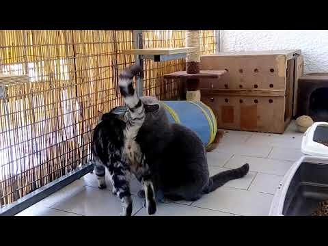 british shorthair cat breed toy Tzouramani Greece