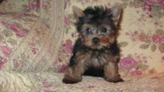Yorkie Puppies For Sale 2009