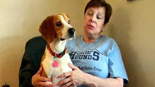 An Introduction To Hokie's Hounds Beagle Rescue