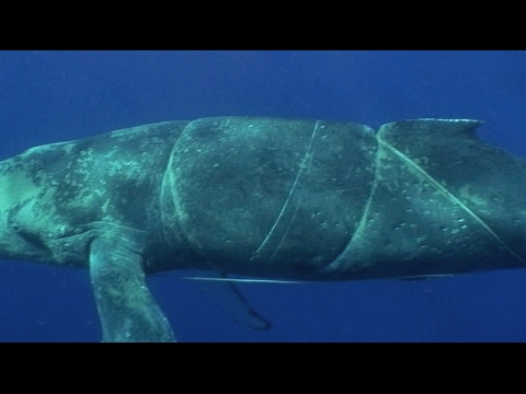 Reporting Entangled Whales in Hawai'i