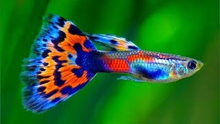 Perbedaan ikan GUPPY JANTAN dan BETINA / How to KNOW MALE and FEMALE fish