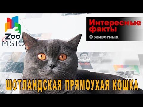 Шотландская прямоухая кошка - Интересные факты о породе    Кошка породы шотландская прямоухая