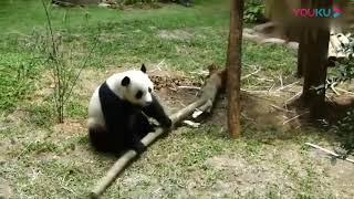 Уроки боевых искусств, от милой панды. Martial arts lessons, from the cute Panda.
