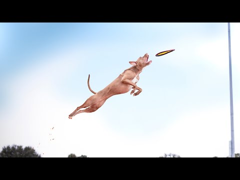 JUMPING DOG  TOP 5 Flying Dogs  WALL climbing, DOCK diving, FRISBEE dog