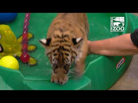 Tiger Cubs Learning to Like Water - Cincinnati Zoo